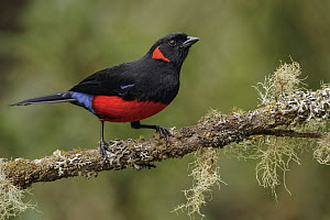 Scarlet-bellied Mountain-Tanager (Anisognathus igniventris), Andes, Colombia - Glenn Bartley/ BIA