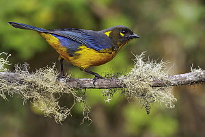 Lacrimose Mountain-Tanager (Anisognathus lacrymosus), Andes, Colombia  -  Glenn Bartley/ BIA