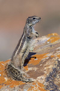 Barbary Ground Squirrel (Atlantoxerus getulus) on alert, Fuerteventura, Spain - Tomasz Zawadzki/ BIA