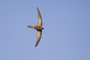 Pallid Swift (Apus pallidus) flying, Zadar, Croatia  -  Martin Grimm/ BIA