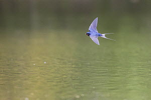 Barn Swallow (Hirundo rustica) flying over water, Hesse, Germany  -  Martin Grimm/ BIA