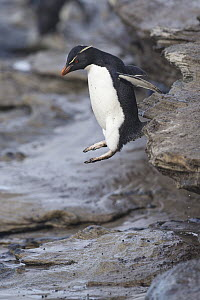 Rockhopper Penguin (Eudyptes chrysocome) jumping, Saunders Island, Falkland Islands - Michael Milicia/ BIA