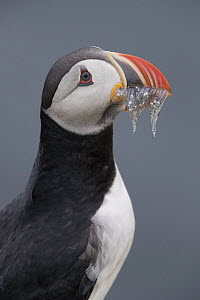 Atlantic Puffin (Fratercula arctica) with fish prey, Grimsey Island, Iceland - Michael Milicia/ BIA