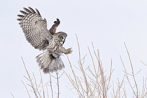 Great Gray Owl (Strix nebulosa) landing, Quebec, Canada - Michael Milicia/ BIA