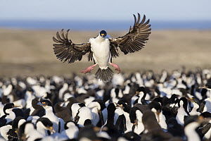 Blue-eyed Cormorant (Phalacrocorax atriceps) landing in colony, Bleaker Island, Falkland Islands - Michael Milicia/ BIA