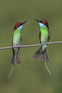 Blue-throated Bee-eater (Merops viridis) pair, Penang, Malaysia  -  Graeme Guy/ BIA