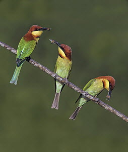 Chestnut-headed Bee-eater (Merops leschenaulti) trio with insect prey, Penang, Malaysia  -  Graeme Guy/ BIA