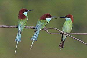 Blue-throated Bee-eater (Merops viridis) trio squabbling, Penang, Malaysia  -  Graeme Guy/ BIA