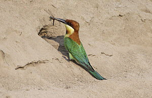 Chestnut-headed Bee-eater (Merops leschenaulti) with dragonfly prey at nest cavity, Penang, Malaysia  -  Graeme Guy/ BIA