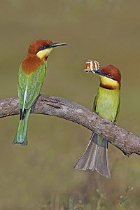 Chestnut-headed Bee-eater (Merops leschenaulti) pair with butterfly prey, Penang, Malaysia - Graeme Guy/ BIA