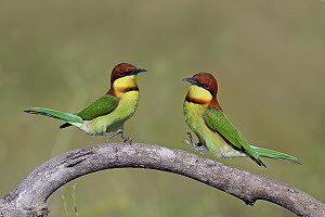 Chestnut-headed Bee-eater (Merops leschenaulti) pair jumping, Penang, Malaysia  -  Graeme Guy/ BIA