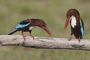 White-throated Kingfisher (Halcyon smyrnensis) pair courting, Penang, Malaysia - Graeme Guy/ BIA