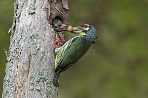 Coppersmith Barbet (Megalaima haemacephala) parent feeding chick in nest cavity, Penang, Malaysia  -  Graeme Guy/ BIA