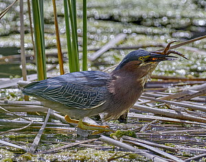Striated Heron (Butorides striata) swallowing frog prey, California  -  Douglas Herr/ BIA