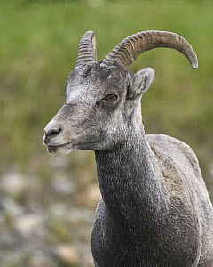 Stone Sheep (Ovis dalli stonei) female, British Columbia, Canada  -  Douglas Herr/ BIA