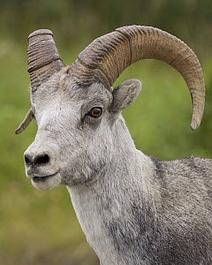 Stone Sheep (Ovis dalli stonei) male, British Columbia, Canada  -  Douglas Herr/ BIA