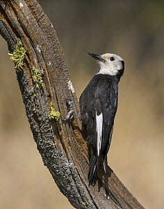 White-headed Woodpecker (Picoides albolarvatus) male, Oregon  -  Douglas Herr/ BIA