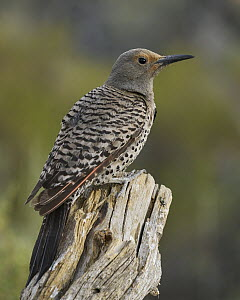 Northern Flicker (Colaptes auratus), Oregon  -  Douglas Herr/ BIA