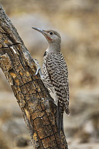 Northern Flicker (Colaptes auratus) male, Oregon  -  Douglas Herr/ BIA