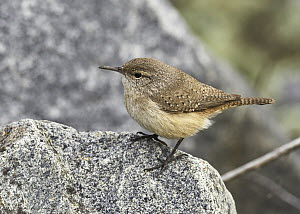 Rock Wren (Salpinctes obsoletus), California  -  Douglas Herr/ BIA