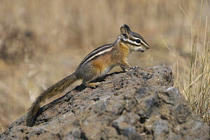 Least Chipmunk (Tamias minimus), Oregon  -  Douglas Herr/ BIA