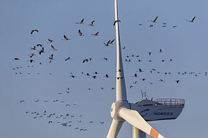 Common Crane (Grus grus) flock flying dangerously close to windmill, Mecklenburg-Vorpommern, Germany - Holger Duty/ BIA