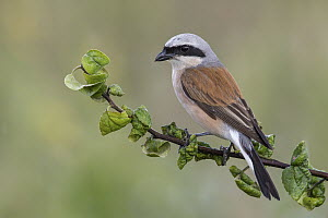 Red-backed Shrike (Lanius collurio), Poland - Tomasz Zawadzki/ BIA
