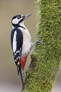 Great Spotted Woodpecker (Dendrocopos major) male, Poland - Tomasz Zawadzki/ BIA
