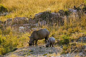 White Rhinoceros (Ceratotherium simum) mother and calf grazing, Kruger National Park, South Africa  -  Richard Du Toit