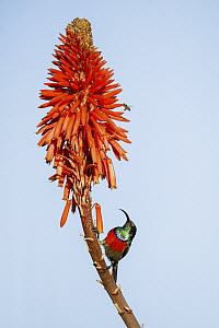 Greater Double-collared Sunbird (Nectarinia afra), Herolds Bay, South Africa - Richard Du Toit