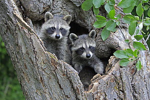 Raccoon (Procyon lotor) young in tree, Minnesota Wildlife Connection, Minnesota - Juergen & Christine Sohns
