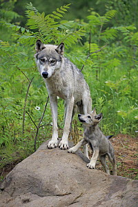 Wolf (Canis lupus) mother and pup, Minnesota Wildlife Connection, Minnesota - Juergen & Christine Sohns