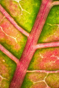 Poinsettia (Euphorbia pulcherrima) leaf, 2x magnification, showing rib and veination, Barcelona, Spain  -  Albert Lleal