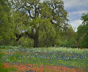 Southern Live Oak (Quercus virginiana) tree and wildflowers, Texas  -  Tim Fitzharris