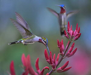 Long-billed Starthroat (Heliomaster longirostris) hummingbird male feeding on flower nectar, Central America  -  Tim Fitzharris