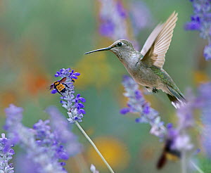 Ruby-throated Hummingbird (Archilochus colubris) female and Bumblebee (Bombus sp) flying, Arkansas - Tim Fitzharris