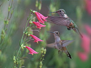 Ruby-throated Hummingbird (Archilochus colubris) females feeding on flower nectar, Texas  -  Tim Fitzharris
