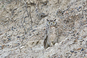 Lesser Horned Owl (Bubo magellanicus) camouflaged on cliff, Chubut, Argentina  -  Agustin Esmoris