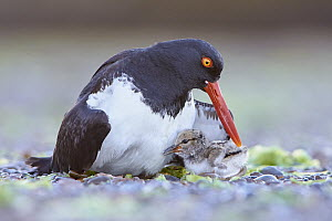 American Oystercatcher (Haematopus palliatus) parent with chick, Chubut, Argentina  -  Agustin Esmoris