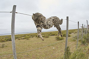 Geoffroy's Cat (Leopardus geoffroyi) hanging on fence after being killed by farmers, Chubut, Argentina  -  Agustin Esmoris