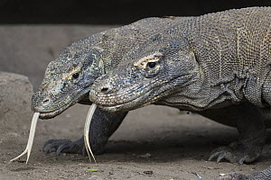 Komodo Dragon (Varanus komodoensis) pair flicking tongues, Komodo National Park, Indonesia  -  Suzi Eszterhas