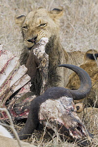 African Lion (Panthera leo) young male feeding on Cape Buffalo (Syncerus caffer) prey, Sabi Sands Private Game Reserve, South Africa  -  Suzi Eszterhas