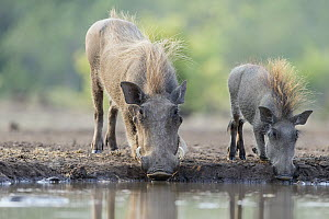 Cape Warthog (Phacochoerus aethiopicus) parent and juvenile drinking at waterhole, Mashatu Game Reserve, Botswana  -  Suzi Eszterhas