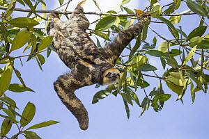 Pale-throated Three-toed Sloth (Bradypus tridactylus) male hanging in tree, Sloth Island, Guyana  -  Suzi Eszterhas