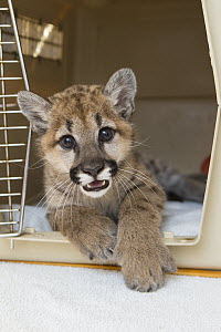 Mountain Lion (Puma concolor) three-month-old orphaned cub in carrier, Sonoma County Wildlife Rescue, Petaluma, California  -  Suzi Eszterhas