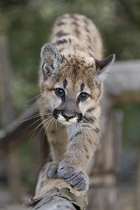 Mountain Lion (Puma concolor) three-month-old orphaned cub, Sonoma County Wildlife Rescue, Petaluma, California  -  Suzi Eszterhas