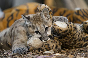 Mountain Lion (Puma concolor) four-month-old orphaned cub playing with toy for enrichment and exercise, Sonoma County Wildlife Rescue, Petaluma, California  -  Suzi Eszterhas