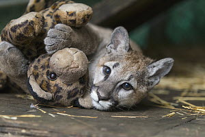 Mountain Lion (Puma concolor) four-month-old orphaned cub playing with toy, Sonoma County Wildlife Rescue, Petaluma, California  -  Suzi Eszterhas