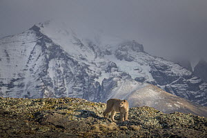 Mountain Lion (Puma concolor) female and mountains, Torres del Paine National Park, Patagonia, Chile - Ingo Arndt