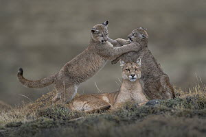 Mountain Lion (Puma concolor) mother and four month old cubs playing, Torres del Paine National Park, Patagonia, Chile. Highly commended in the Animal Portraits Category of the Wildlife Photographer o...  -  Ingo Arndt